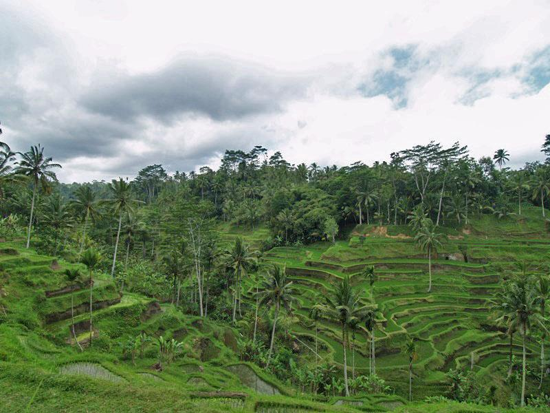 Rice Terrace in Tegal Alang