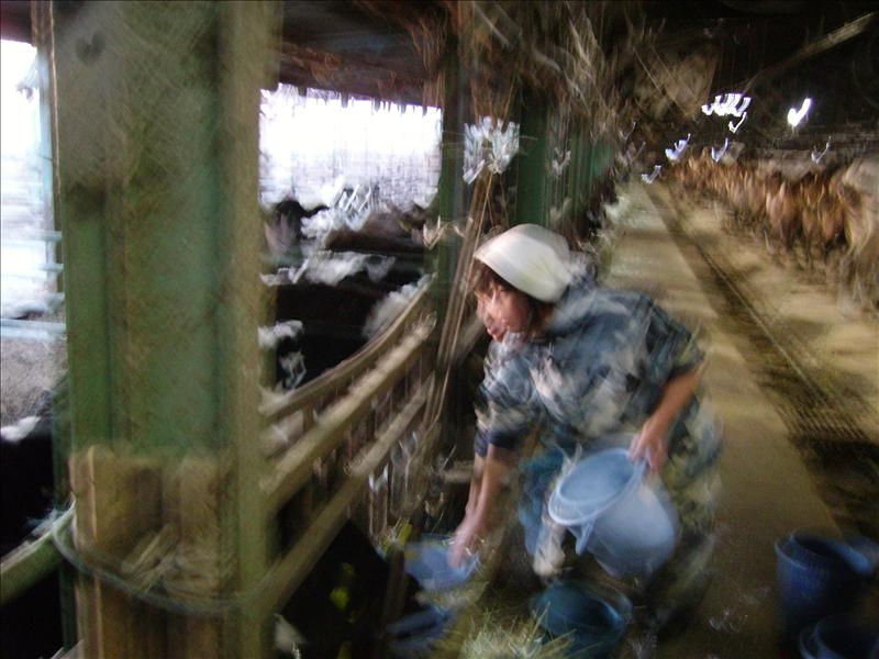 cow farm•Suko's aunt