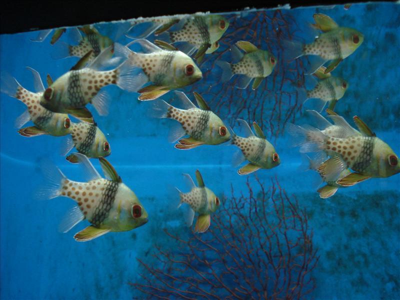 """pajama cardinalfish or """"dangat"""""""