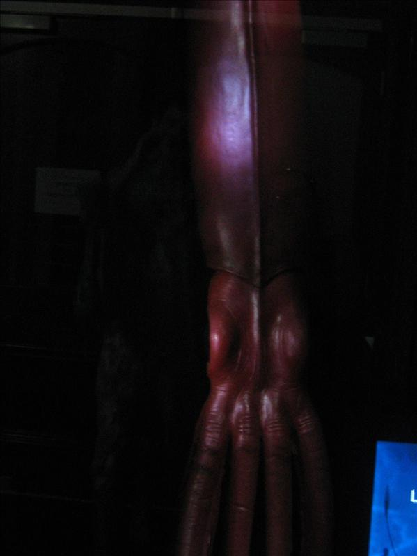 Giant Squid in Museum