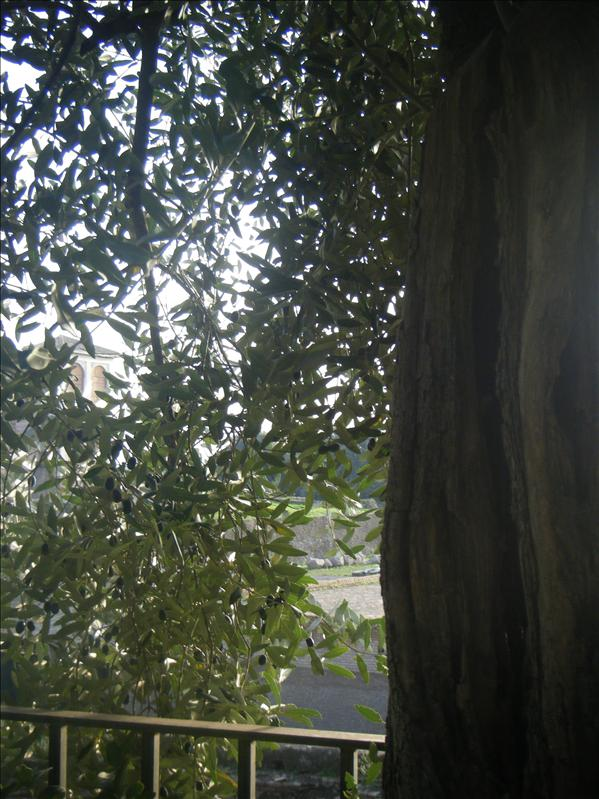 an olive tree!