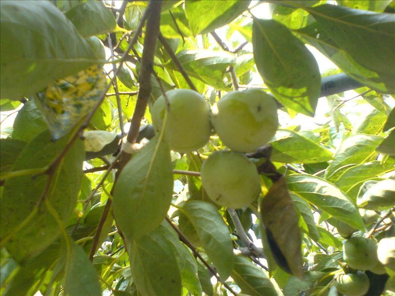尚未成熟的柿子