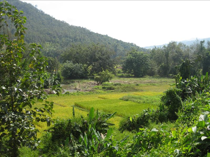 Trekking though rice fields in Northern Thailand