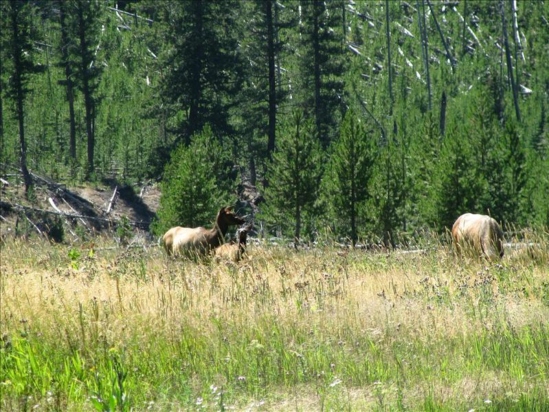 de Wapiti (van de edelhertenfamilie), in het amerikaans een Elk genoemd.