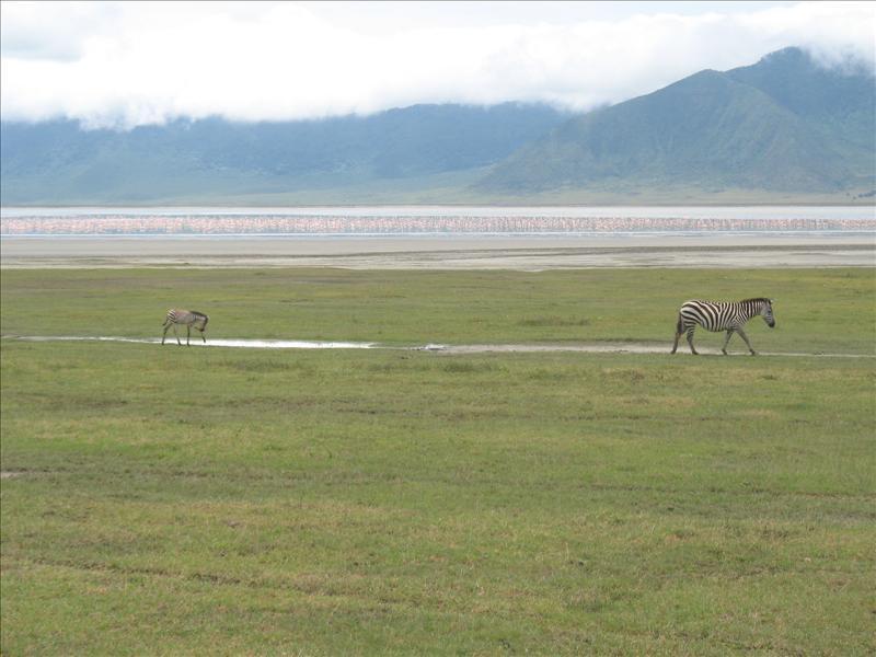 zebra•Ngorongoro