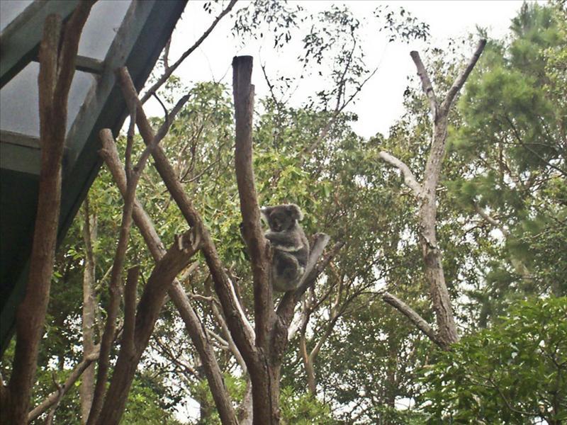 Coala on a stick 2