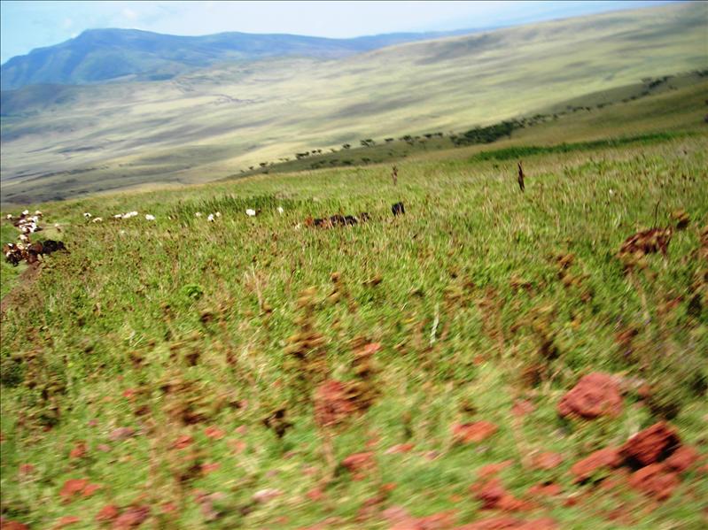 Massai cows•Tanzania