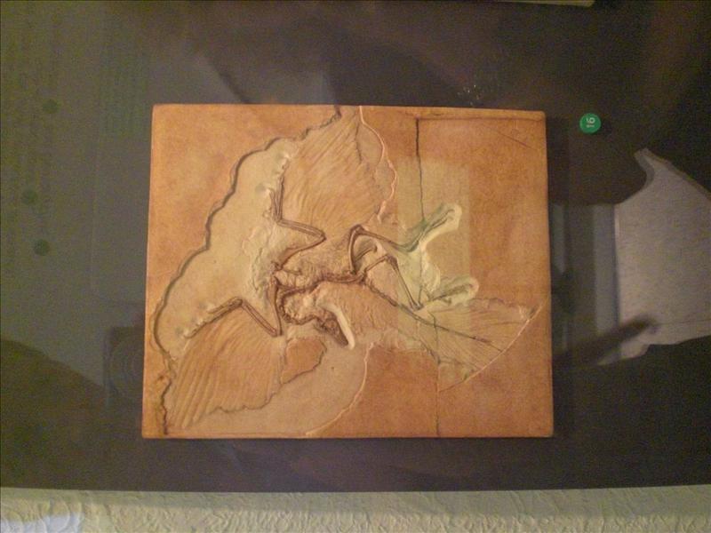 vet mooie fossiel van gevleugelde dino: archeopterix