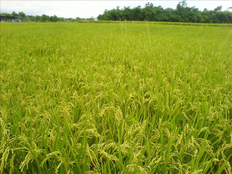 勝洋水草附近的稻田