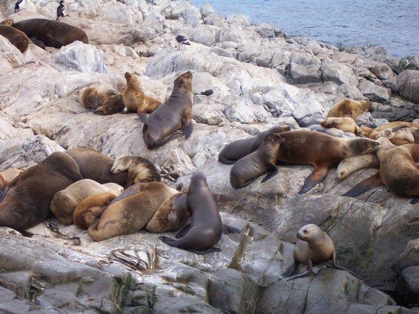 SEA LIONS, BEAGLE CHANNEL, USHUAIA, TIERRA DEL FUEGO, ARGENTINA