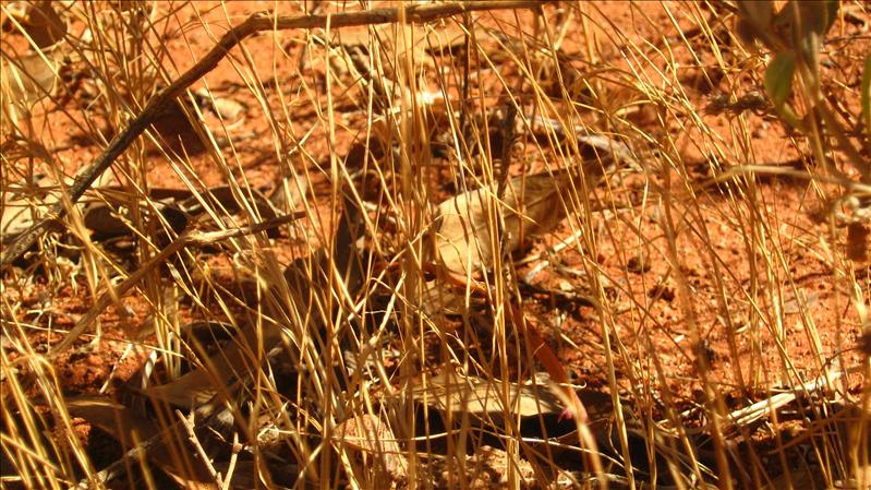 A little Lizard at Kata Tjuta