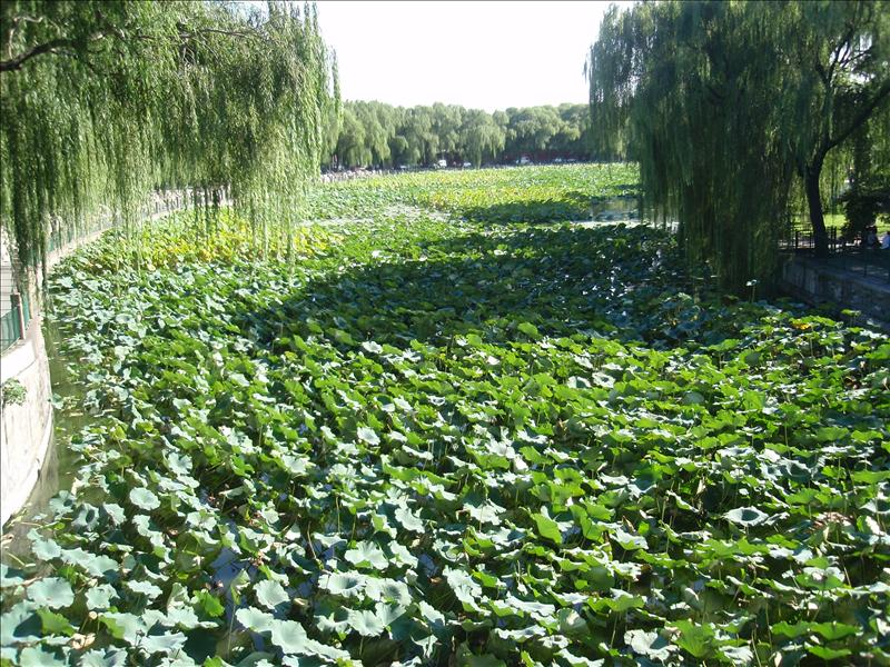Overgrown section of the lake in Beihai Park
