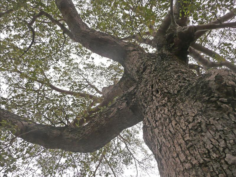 超巨大的木棉樹,開花時應該很壯觀