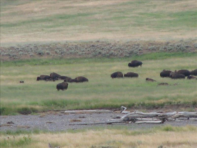 en dan hebben we daar eindelijk de enorme kuddes bizon die ze ons beloofd hebben