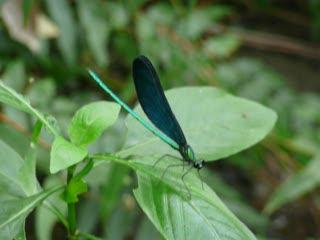 藍螢光蜻蜓.MOV