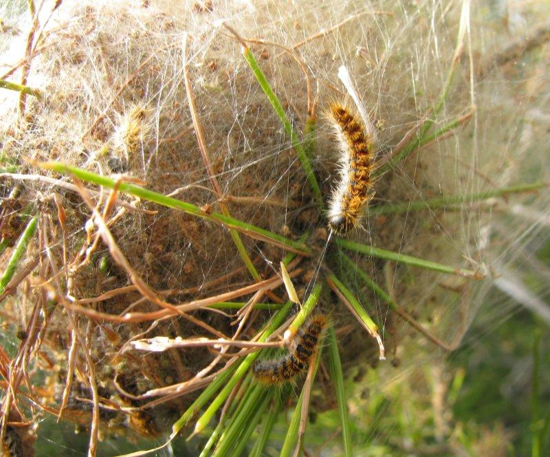 The dreaded processionary caterpillars leave their cocoon.