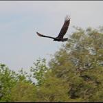 eagles 006.jpg