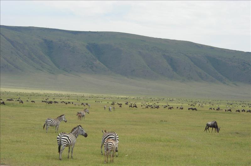 zebras•wildebeest•Ngorongoro