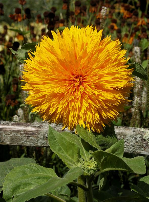 Shaggy sunflower