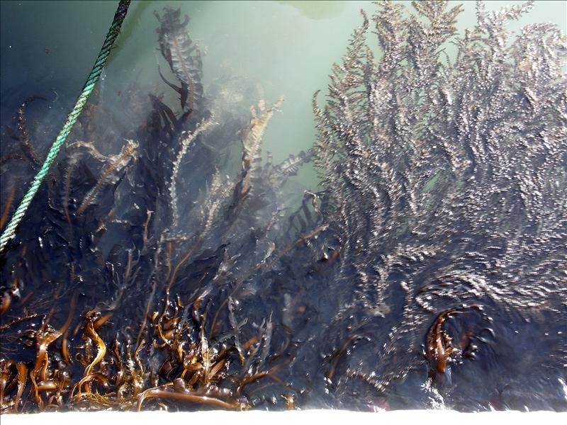 Venetian Seaweed