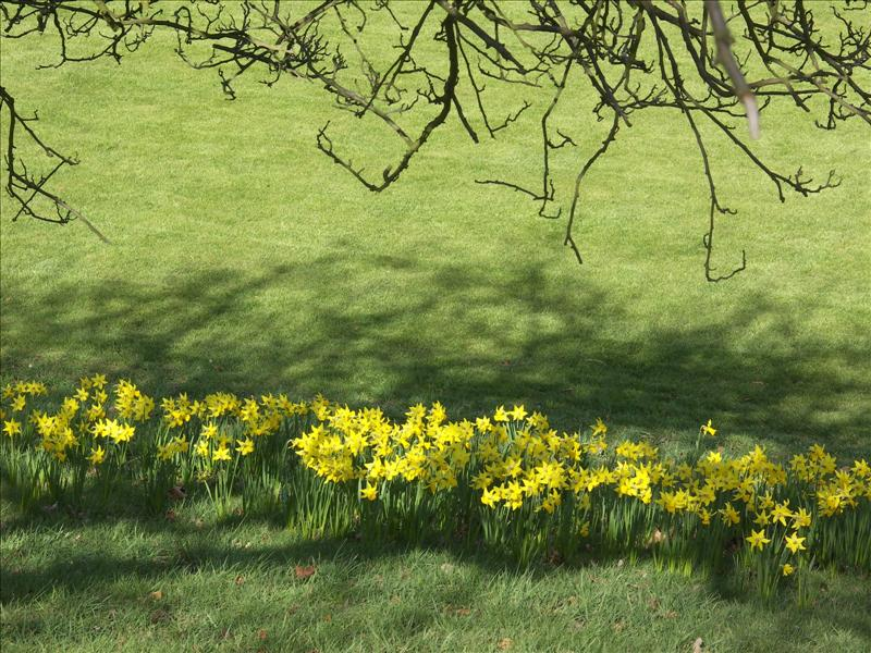 A drift of daffs