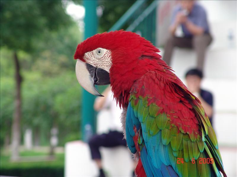 parrot(鹦鹉)