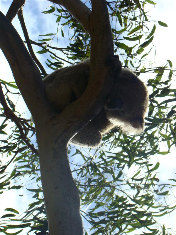 gotta love koalas