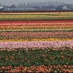 2011-Netherlands Keukenhoff-0008.jpg