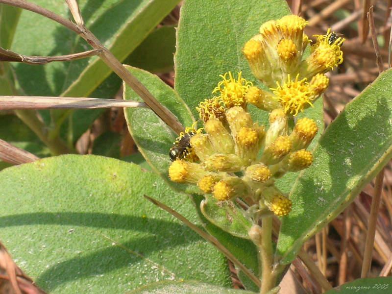 Elecampane (Inula cappa) 羊耳菊 (白牛膽) 山白芷