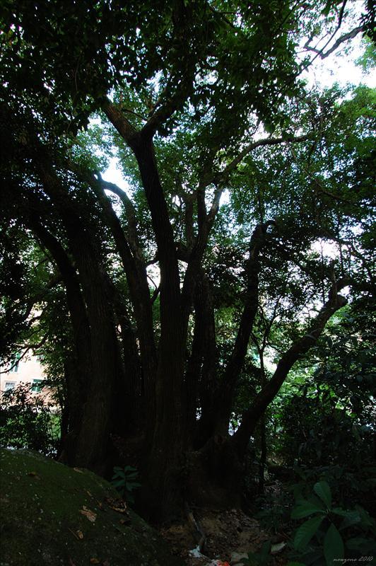 先參觀有百子千孫之稱嘅樟樹