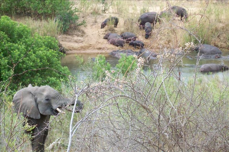 Elephant & Hippos