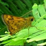 DSCN0025 Potanthus pseudomaesa Common Dart 木黃室弄蝶.jpg