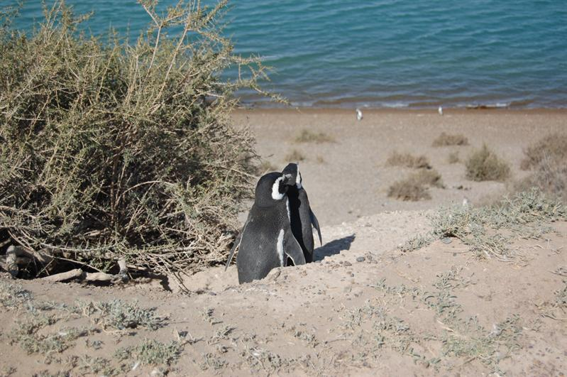 Pingouin's Love