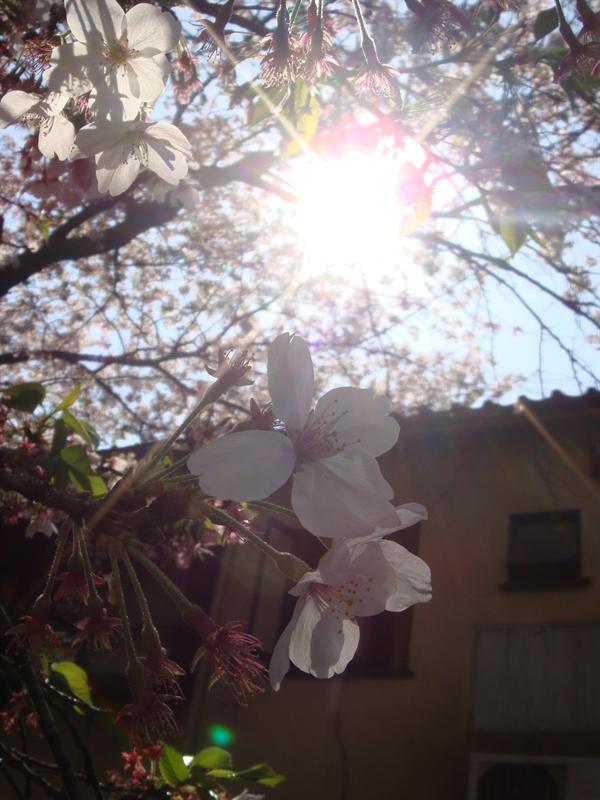 Sakura w/ sun