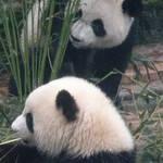 77 Chengdu Pandas.JPG