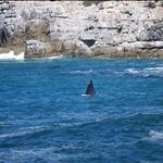 nageoire de baleine