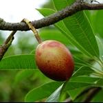 海芒果 Cerbera-Sea-Mango