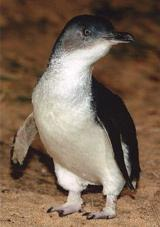 The little penguins from Phillip Island