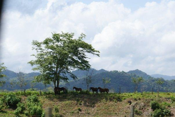 Horses on the fields