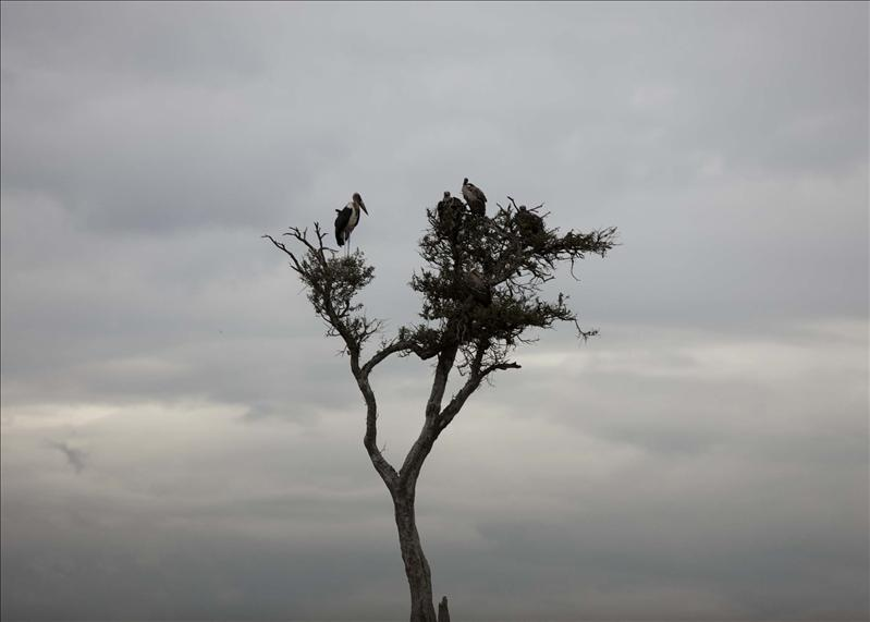 Marabou Stork & Vultures atop a tree