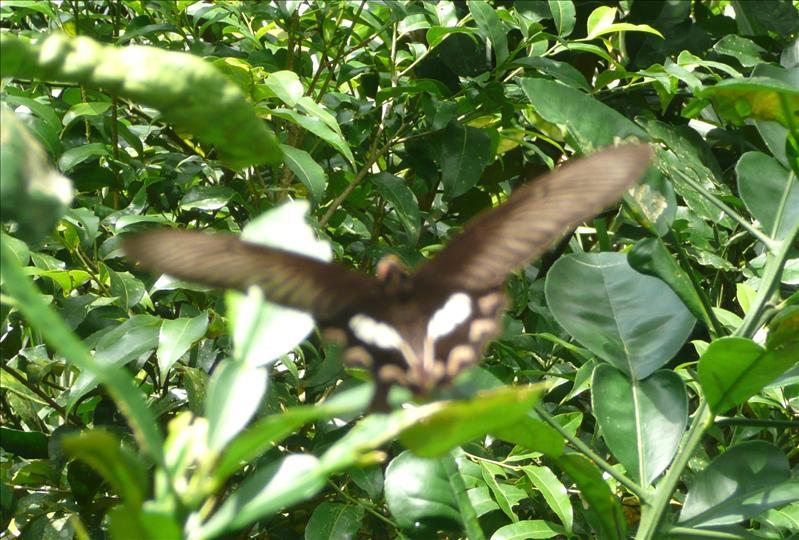 大紅紋鳳蝶