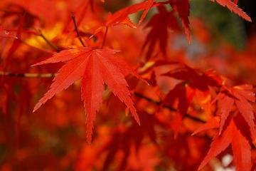 a maple