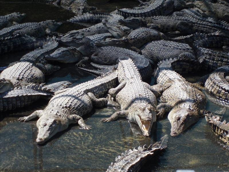 Hartley's croc farm.JPG