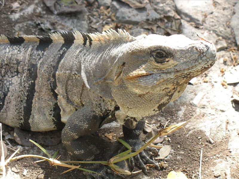 iguana al sole