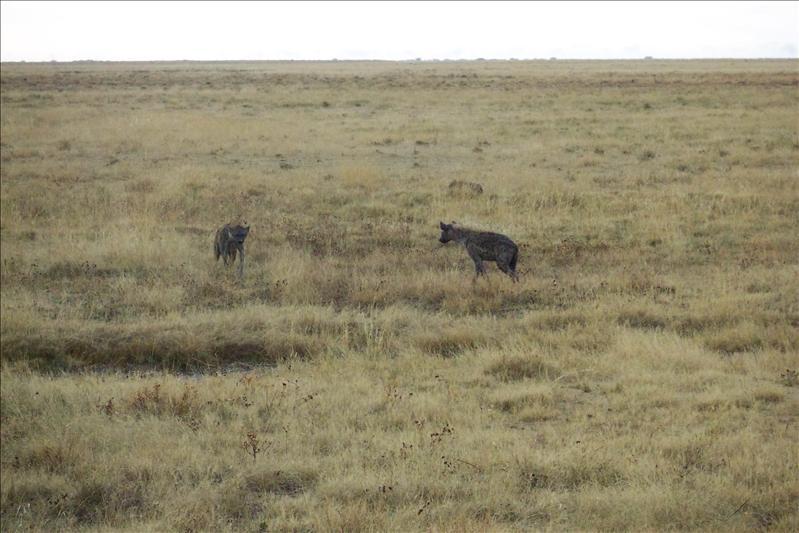 Spotted Hyenas / Hyènes tachetées