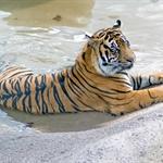 Tiger_San_Diego_Zoo.jpg