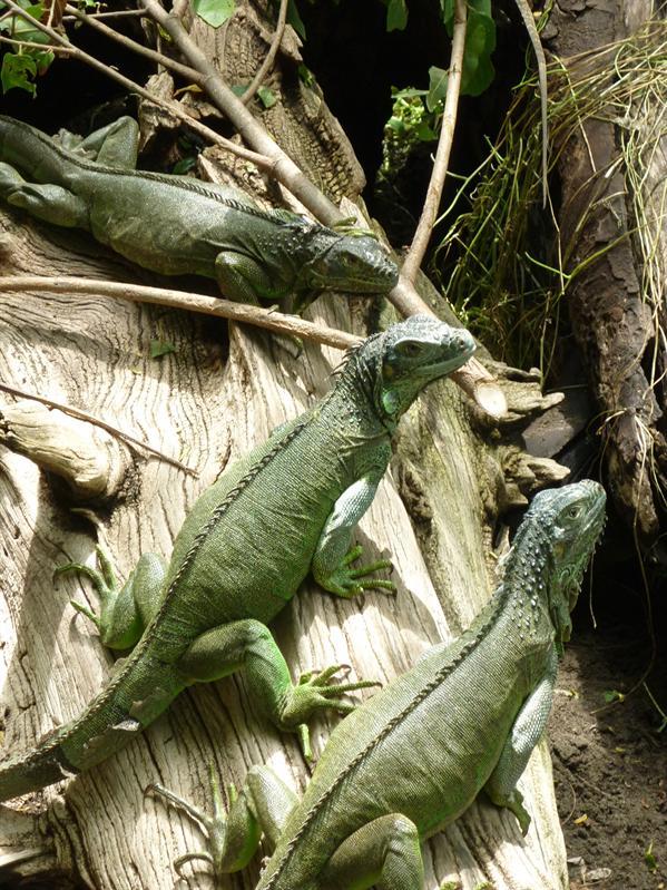 Green Iguanas...