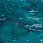 ปลาฉลาม มากินปลา กล้องถ่ายได้ชัดสุดแค่เนี่ย  ถ่ายที่จุดชมพระอาทิตย์ตก แต่เขาบอกว่าฉลามจะมาช่วง 11 โมง ซึ่งเราก็ได้เจอจริงๆ (แต่อีกวันต่อมาไม่เจอแล้วอะ ;p)