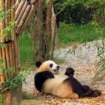 Chengdu-pandas-d12.jpg
