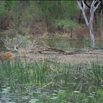 Baby bushbuck & crocodile / bébé guib harnaché et crocodile